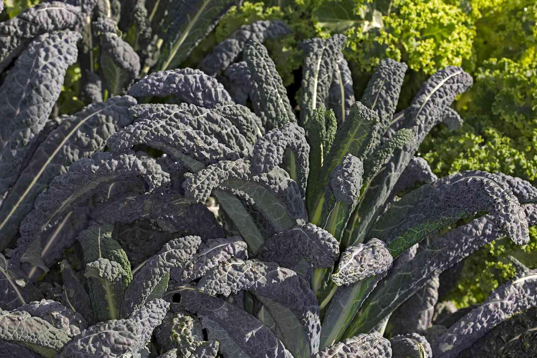 Dinosaur Kale