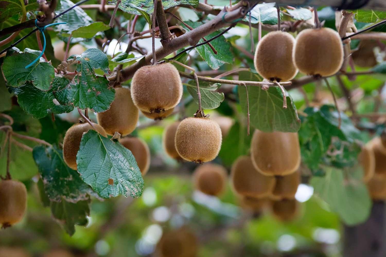 Kiwi plant with Kiwi fruits