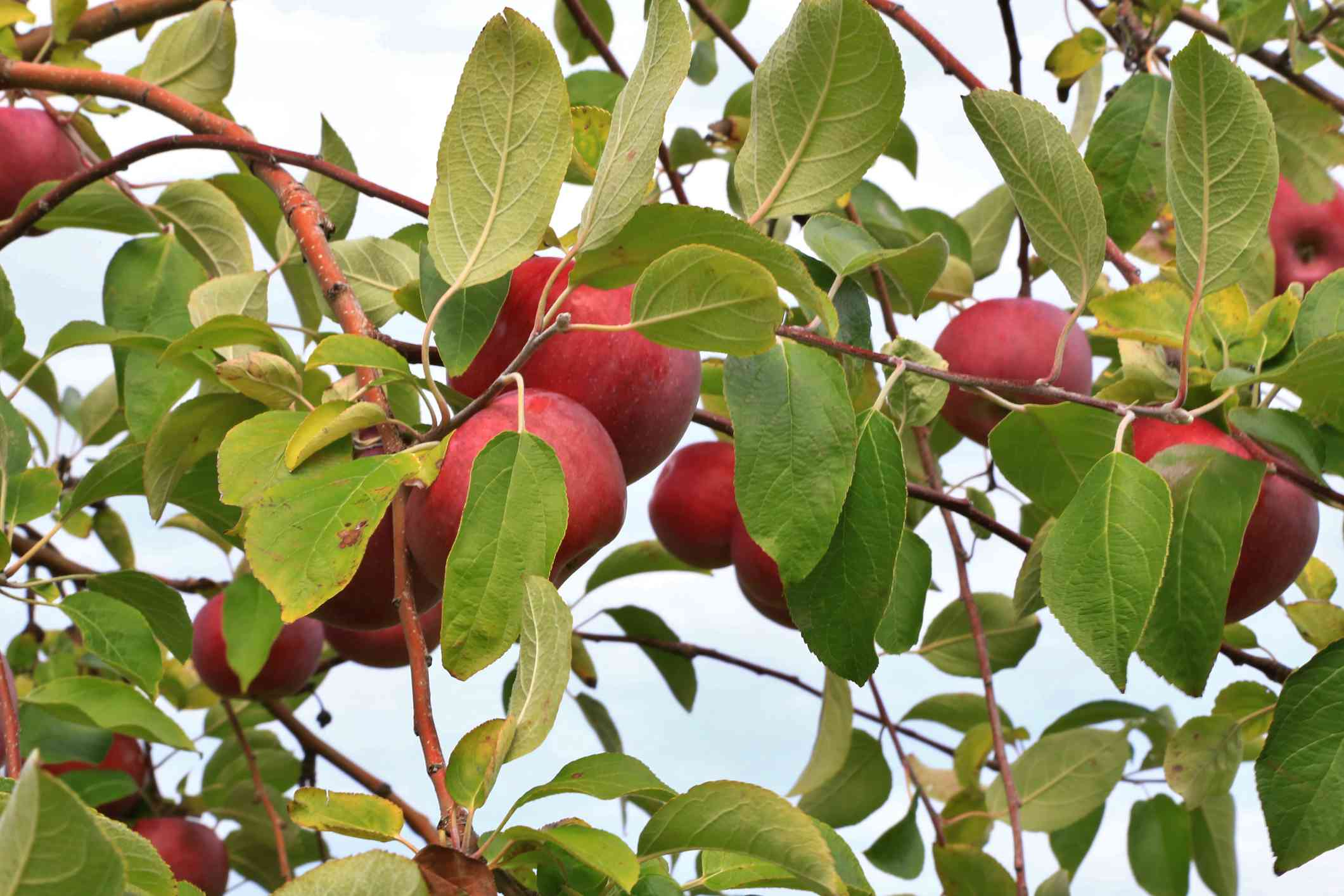 Jonathon Apples