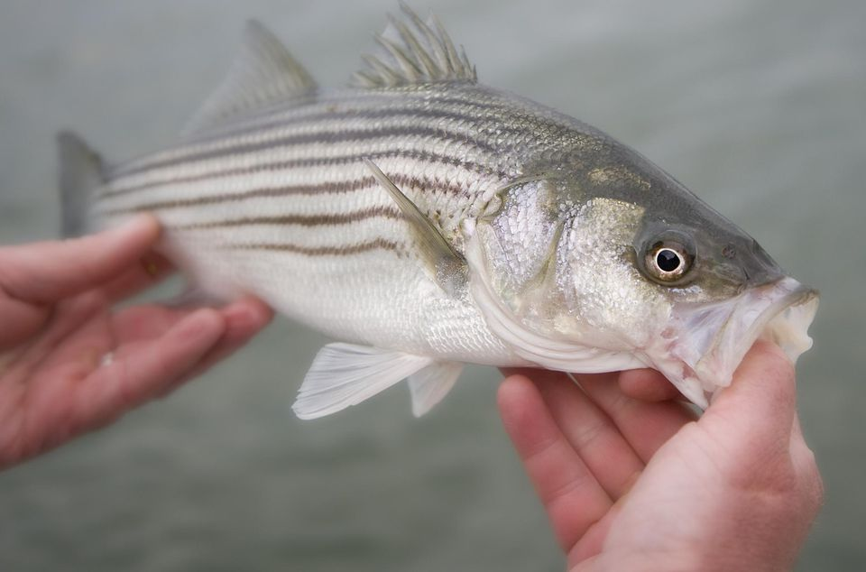 Striped Bass held by a fisherman