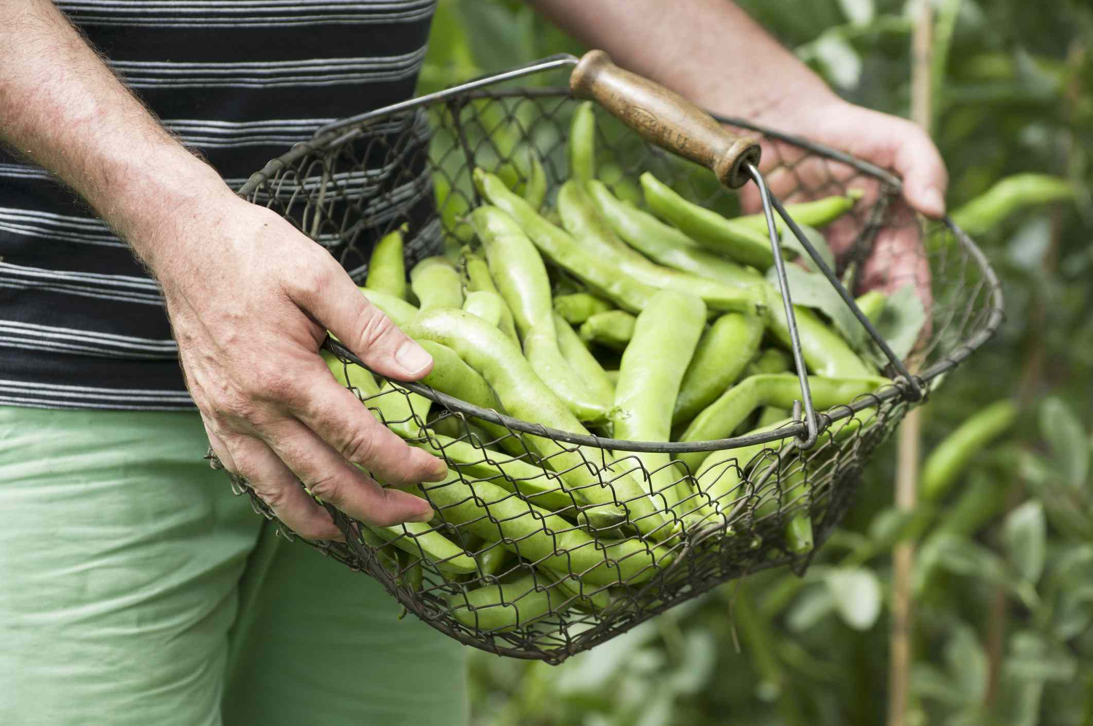Harvested fava beans in a basket