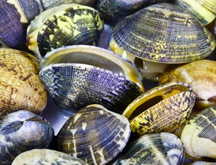 Close-up of Manila clams in a pile