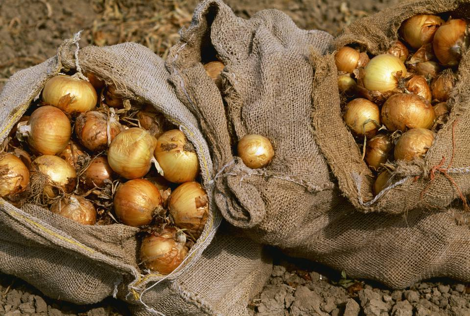 Agriculture - Yellow Onions harvested and in sacks / Colorado, USA