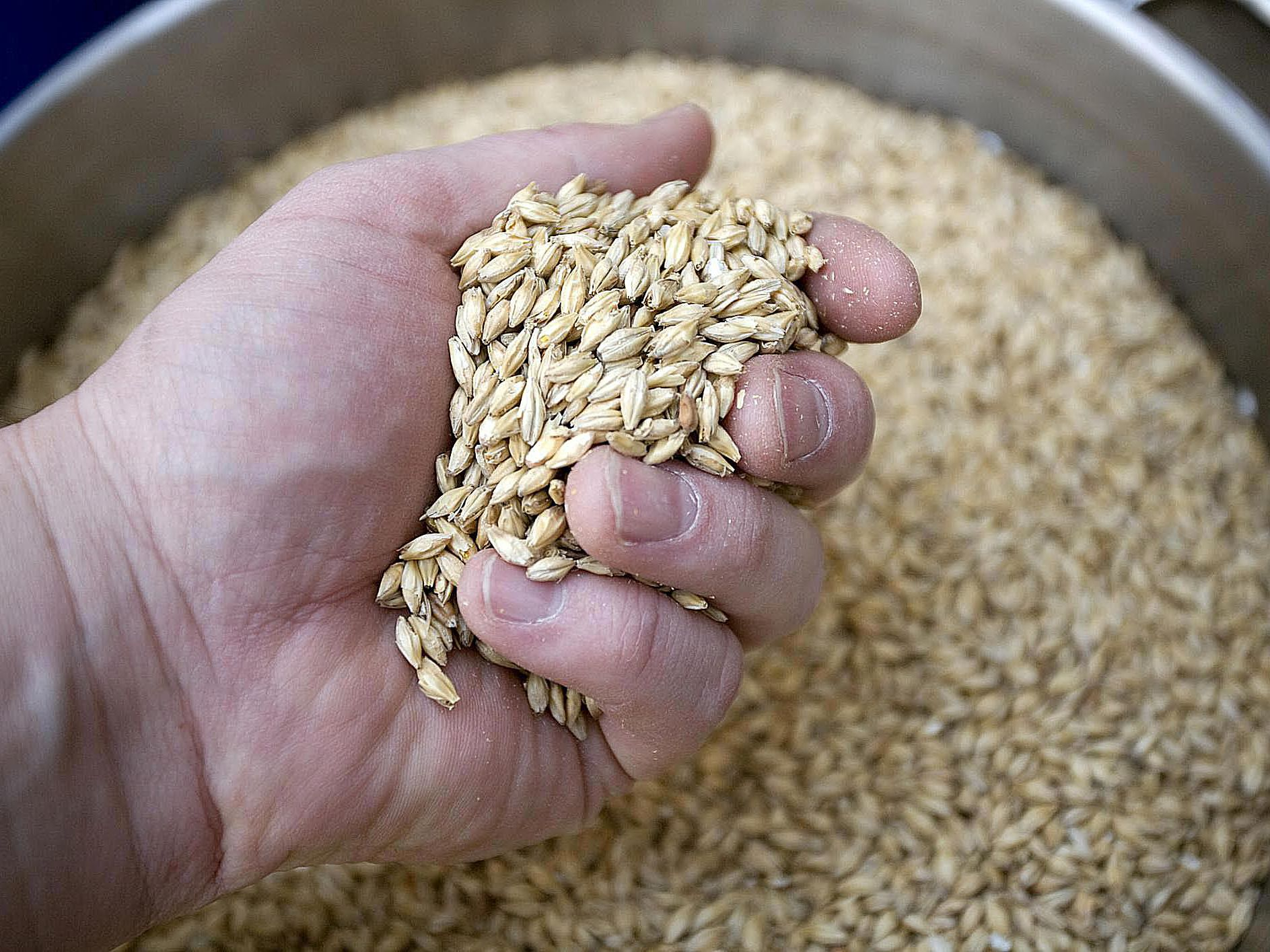 What Is Malted Barley in Brewing?