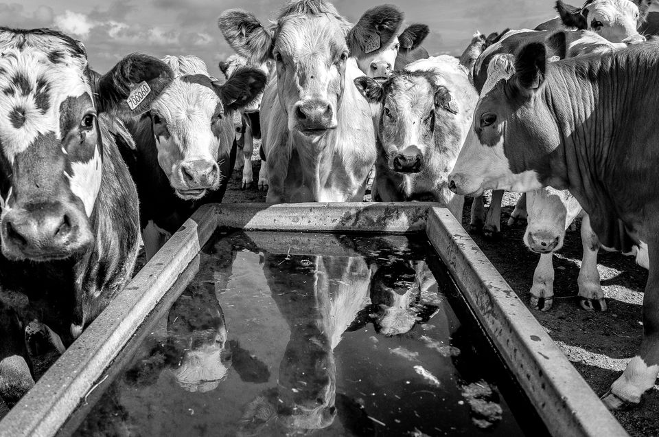 Portrait Of Cows With Reflections In Water