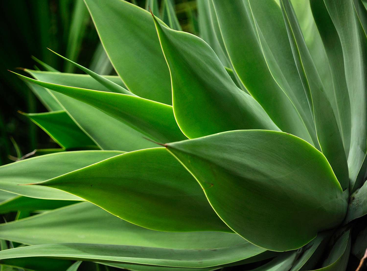 Close up of leaves of agave plant