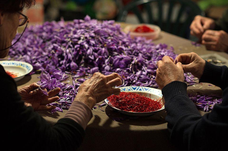 Saffron Harvest In Castilla La Mancha Region