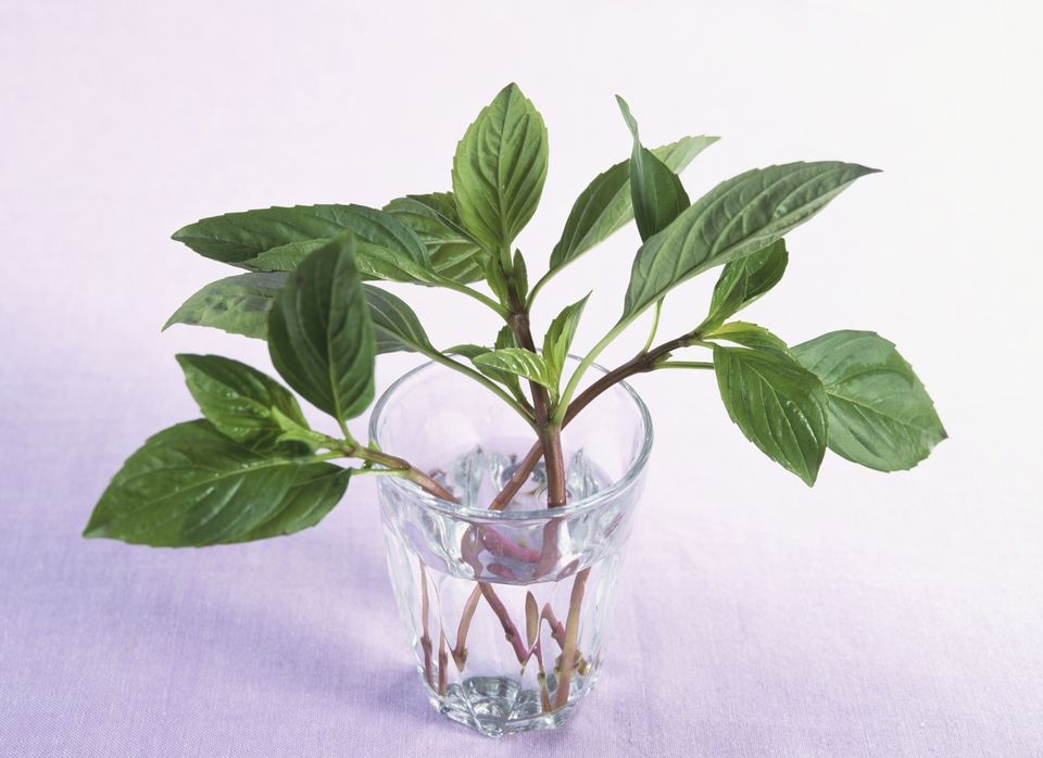 Basil for Storage