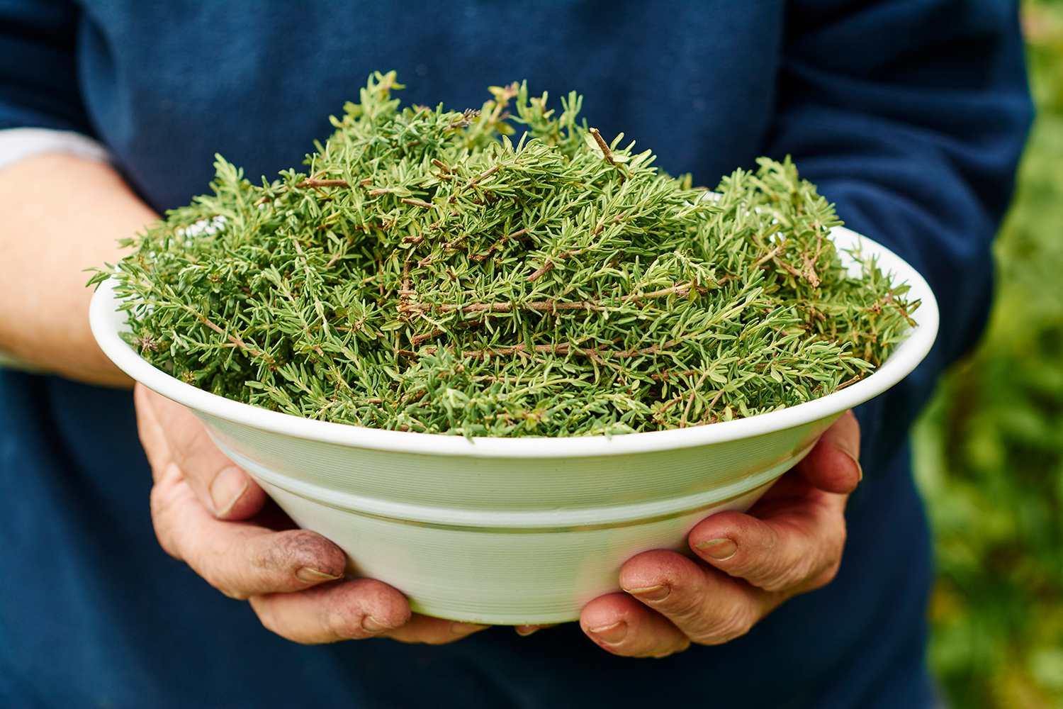 Freshly harvested common thyme