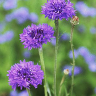 Cornflowers or Bachelor Buttons