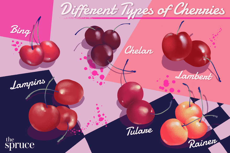illustration showing different types of cherries