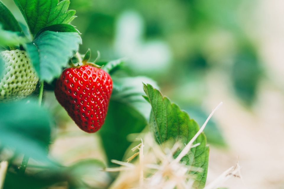 Close-up of strawberries growing