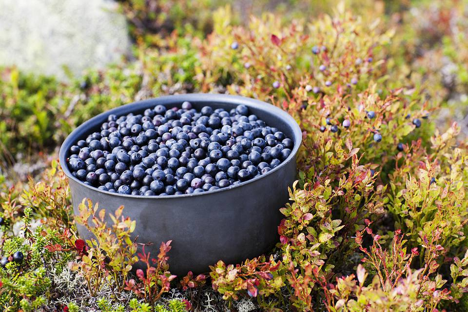Bilberries in a pot