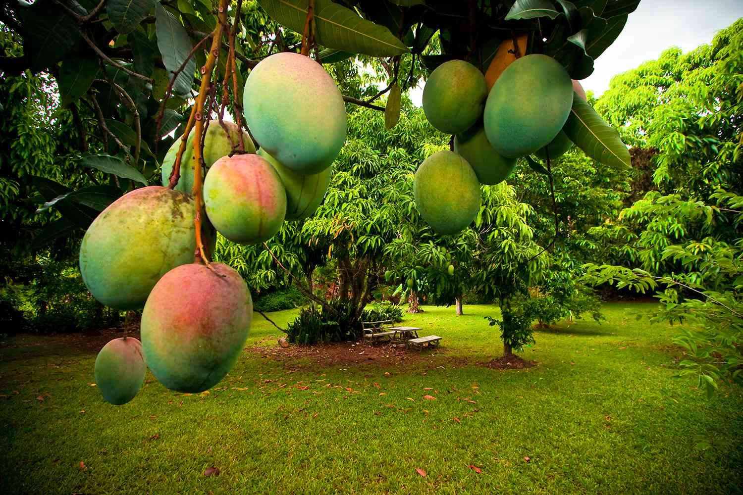 Bunch of ripe and green Julie mangoes hanging on tree