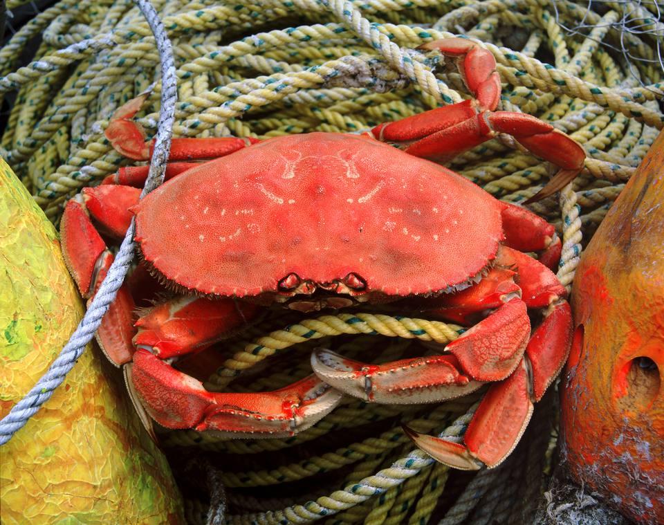 Fresh Live Crab