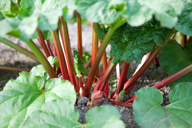 organic-rhubarb-plant.jpg
