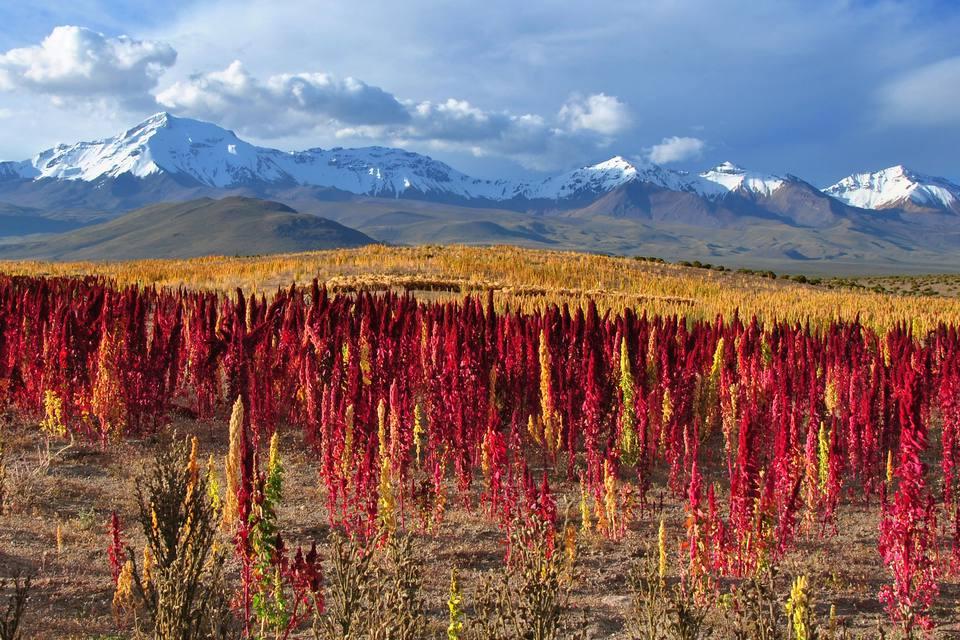 Fields of quinoa