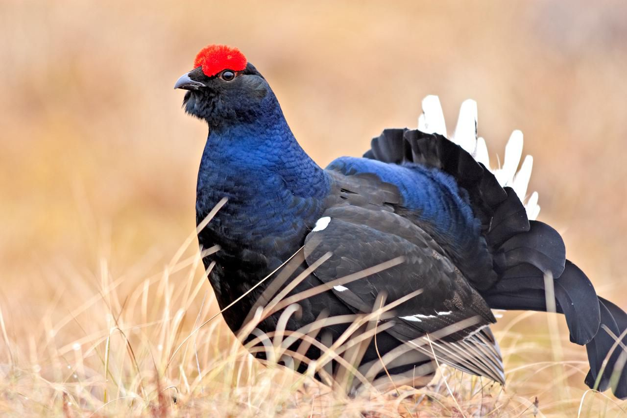 A male black grouse