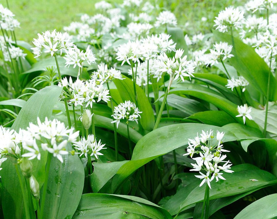Wild garlic with flowers in bloom