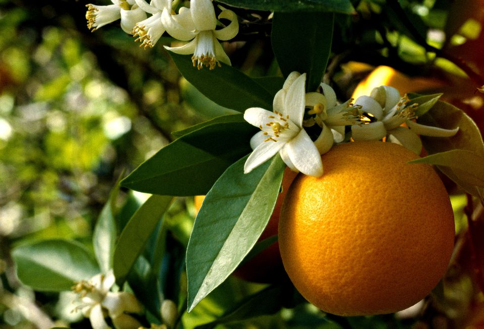 Oranges and orange blossoms on tree