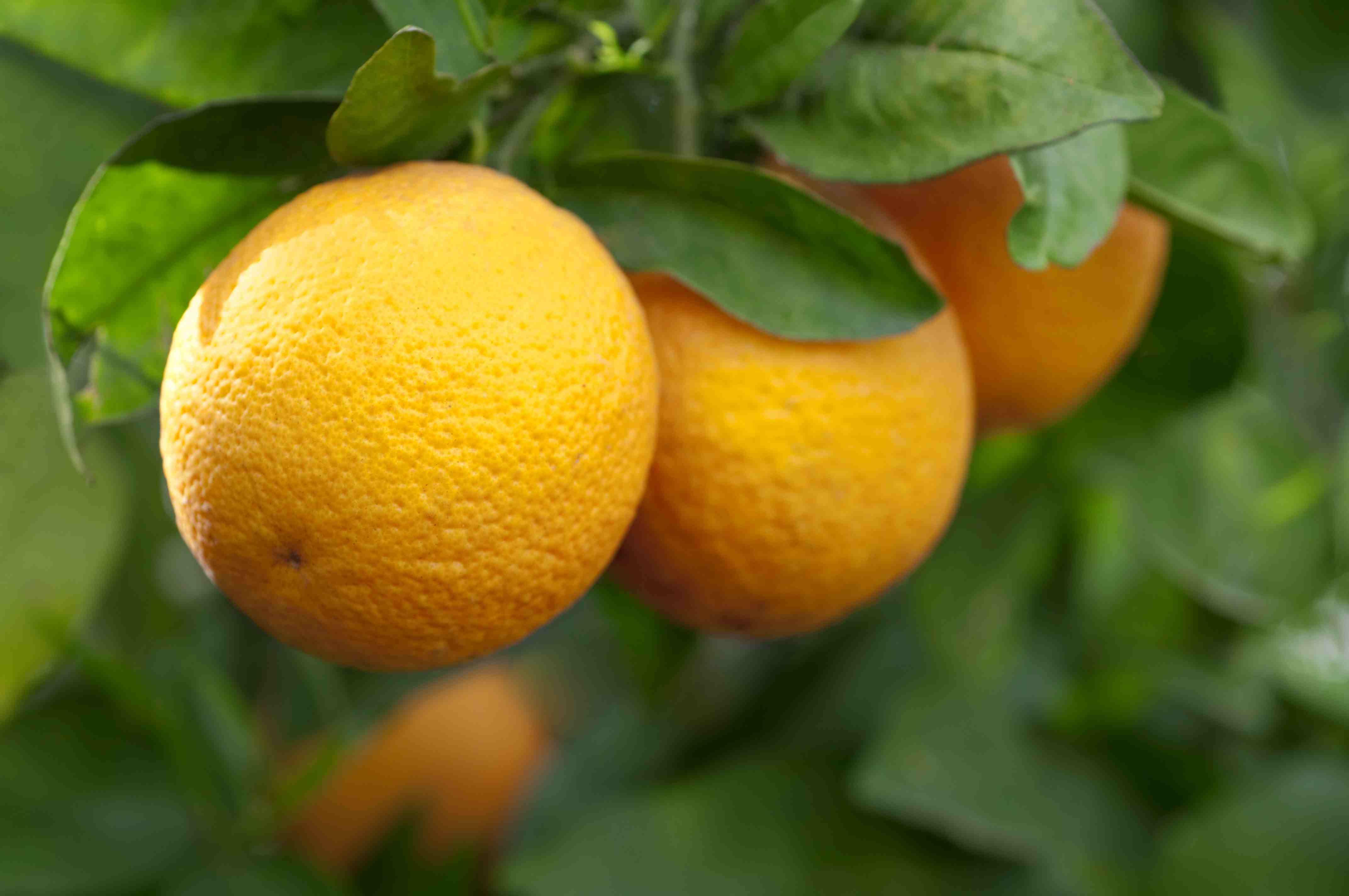 Valencia oranges on a tree