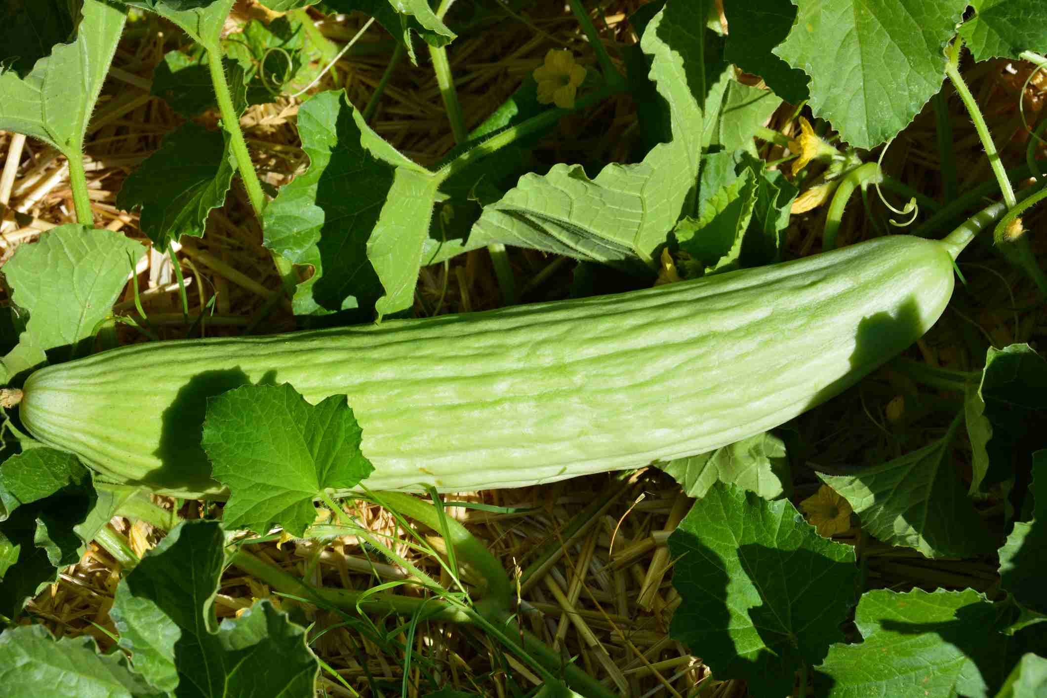 Armenian Cucumber Growing on the Vine