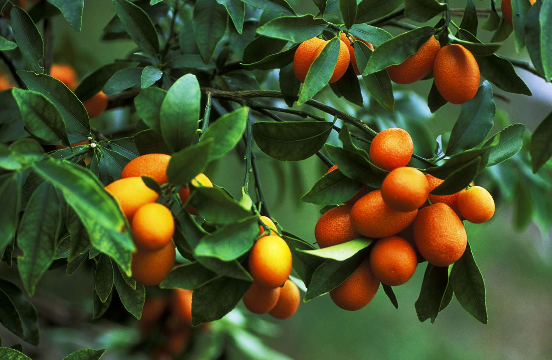 kumquats on a tree