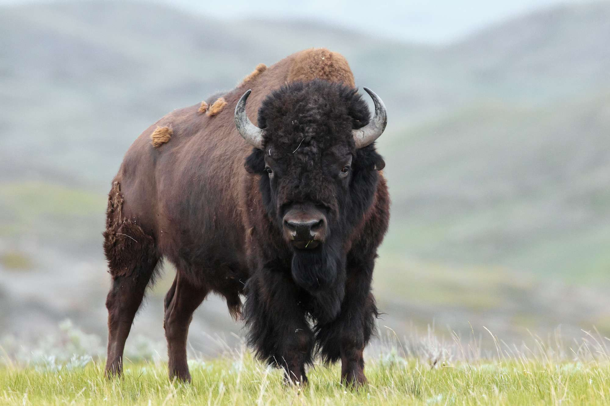 Plains Bison, B. bison, bull, Grasslands National Park, Saskatchewan, Canada
