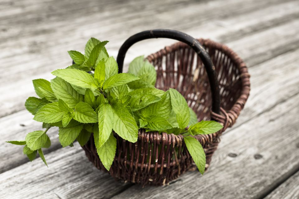 Wicker basket of fresh peppermint