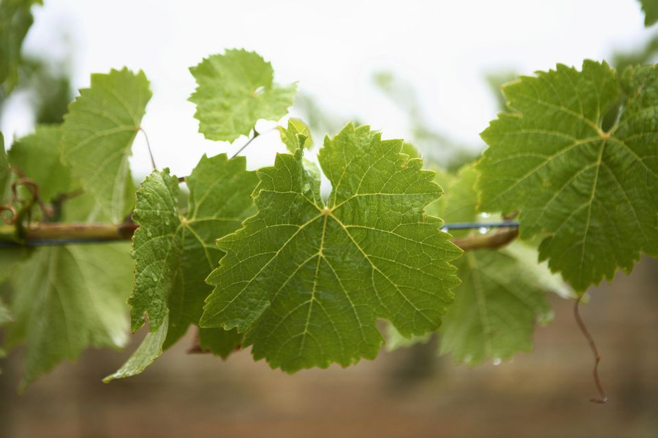 Vine leaves on vine, close up
