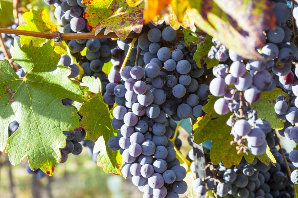 Malbec wine grapes