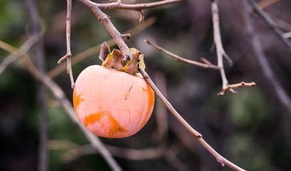 Fuyu Persimmon growing on tree