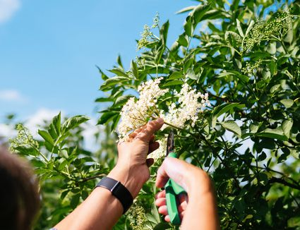 Cropped Hand Of Woman Pruning Elderberry Flowers Against Sky