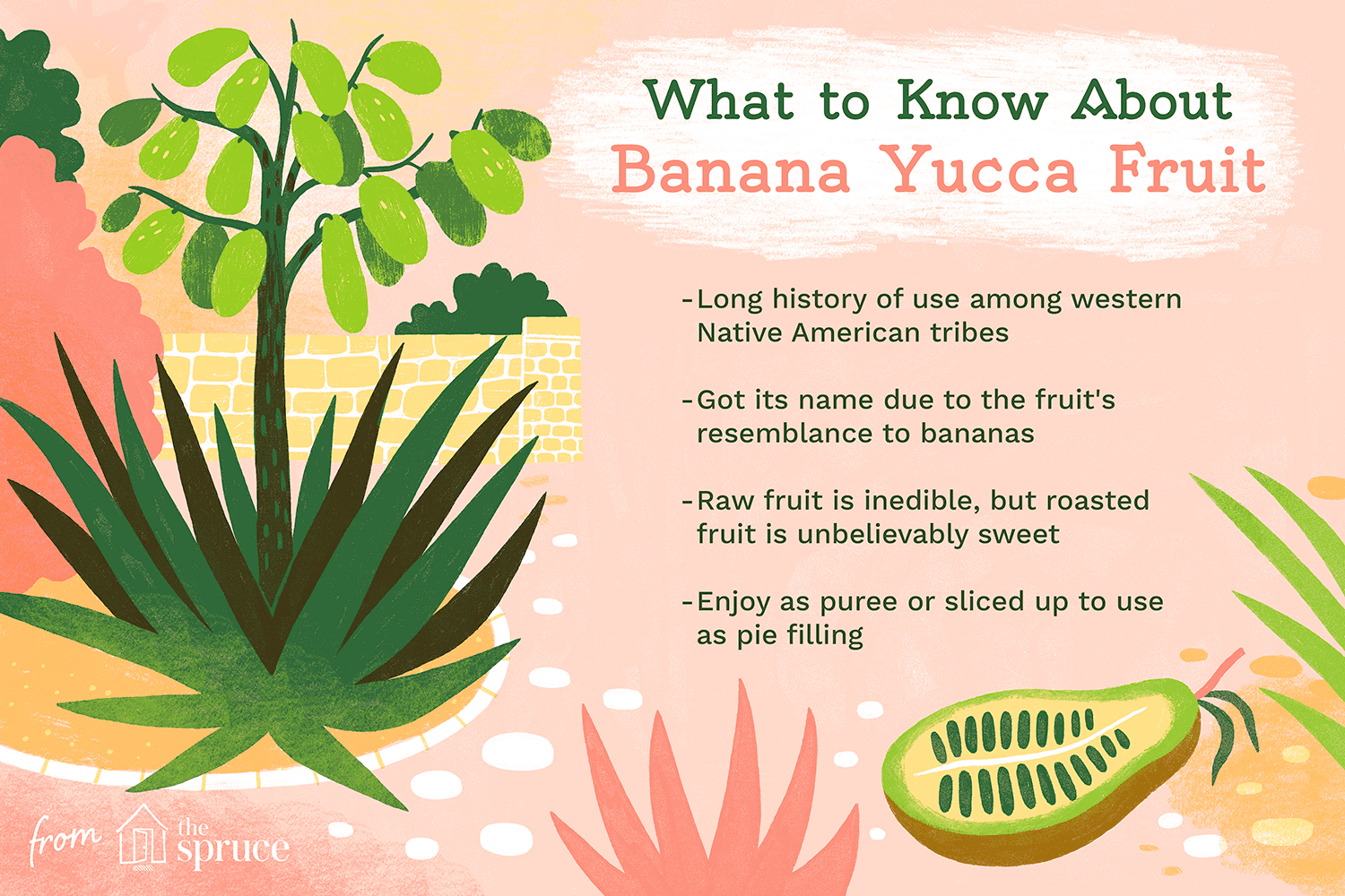 illustration with facts about banana yucca fruit