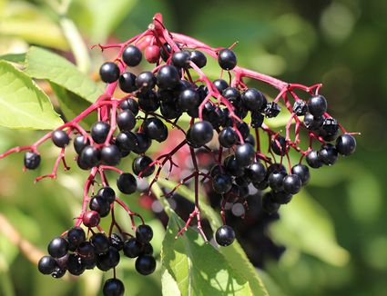 A thriving elderberry bush