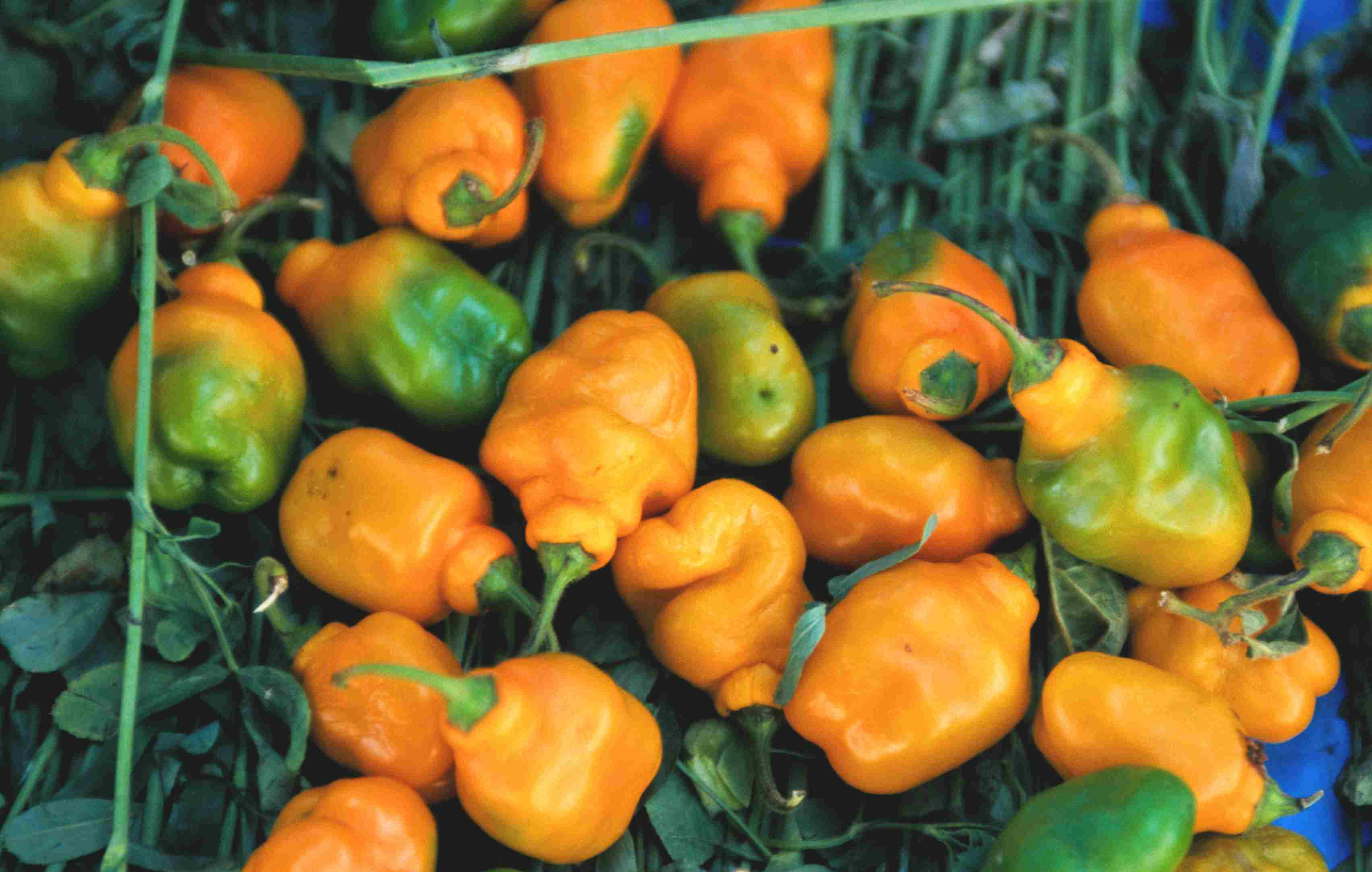 Habanero chile peppers