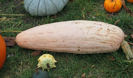 A pink banana squash alongside various other squash