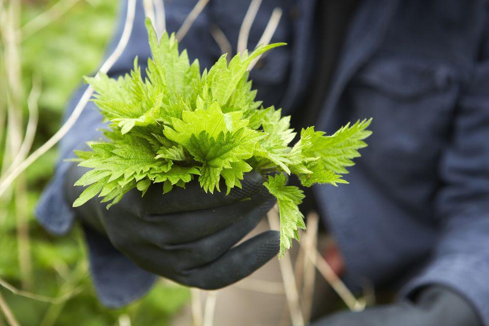 Gardener holding fresh nettles