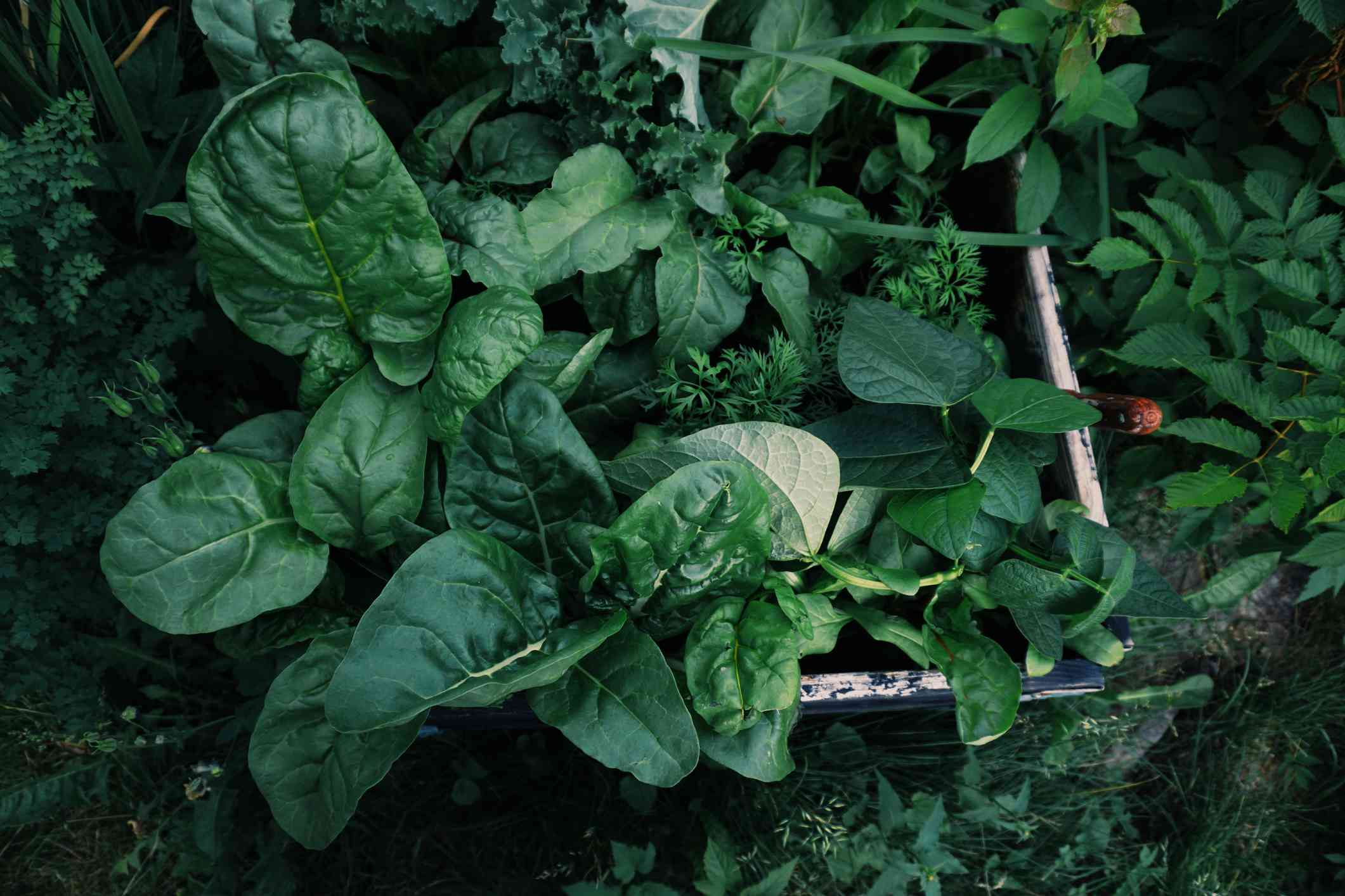 Large-leaf spinach growing in a garden