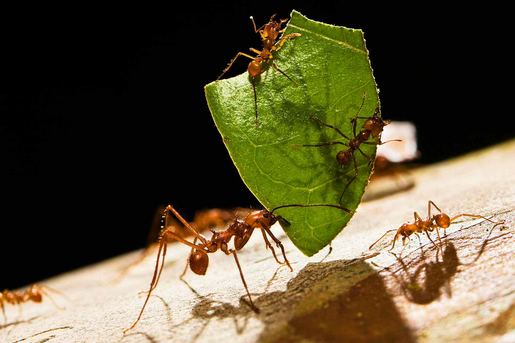 Atta Ants carrying a leaf