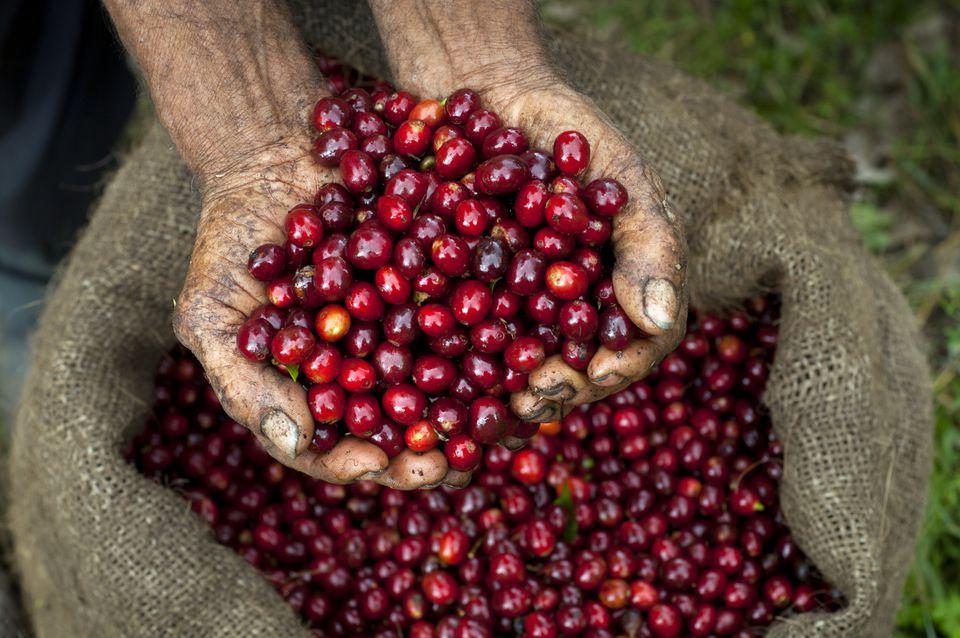 freshly picked coffee beans
