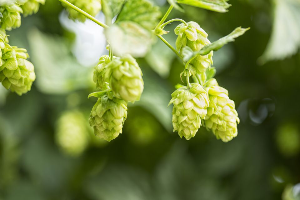 Hops - How to Grow and Harvest