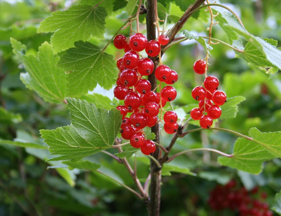 Johannisbeeren Rispen - Red Currants