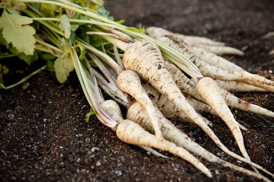 Parsnips With Greens Attached