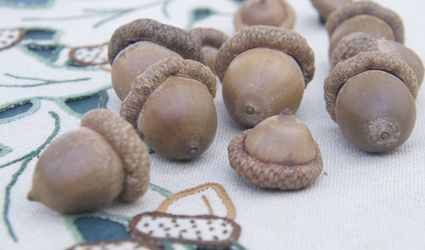 Large red oak acorns