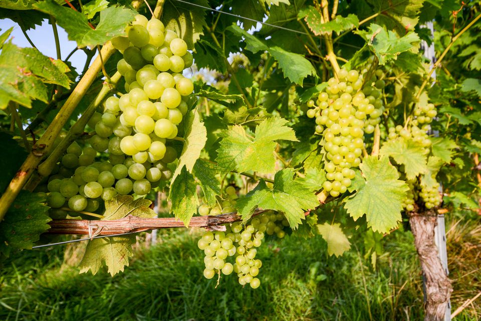 White wine: Vine with grapes just before harvest