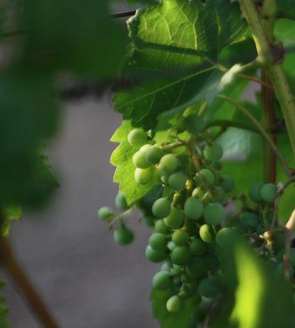 Pinot grigio grapes