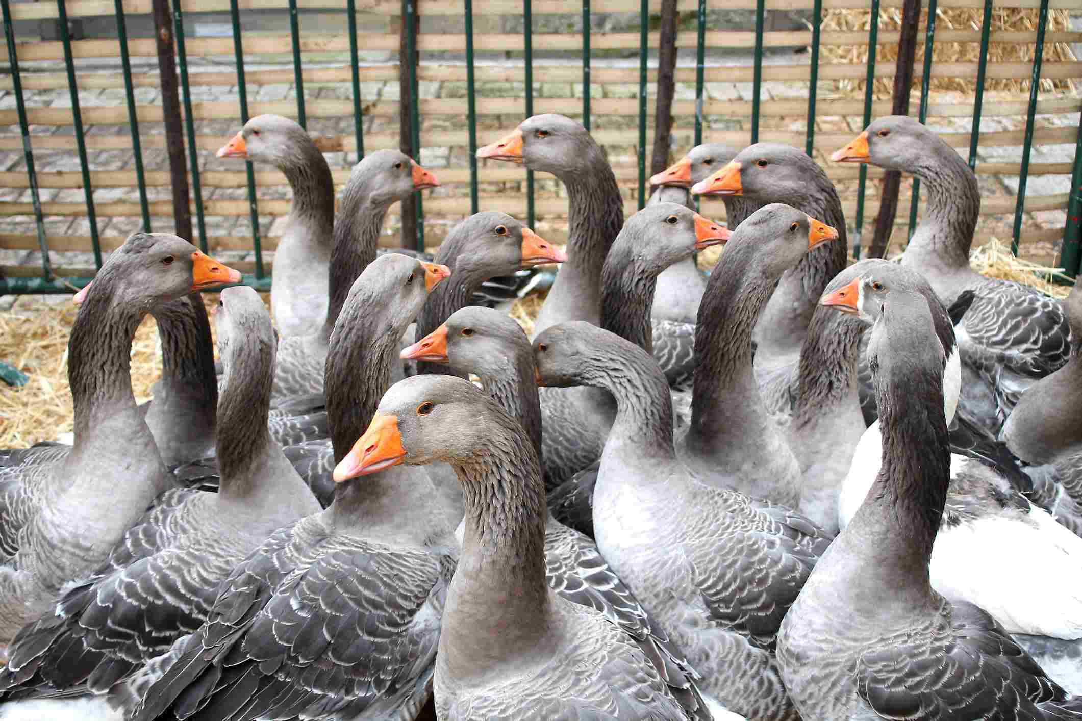 Geese for sale at foie gras market