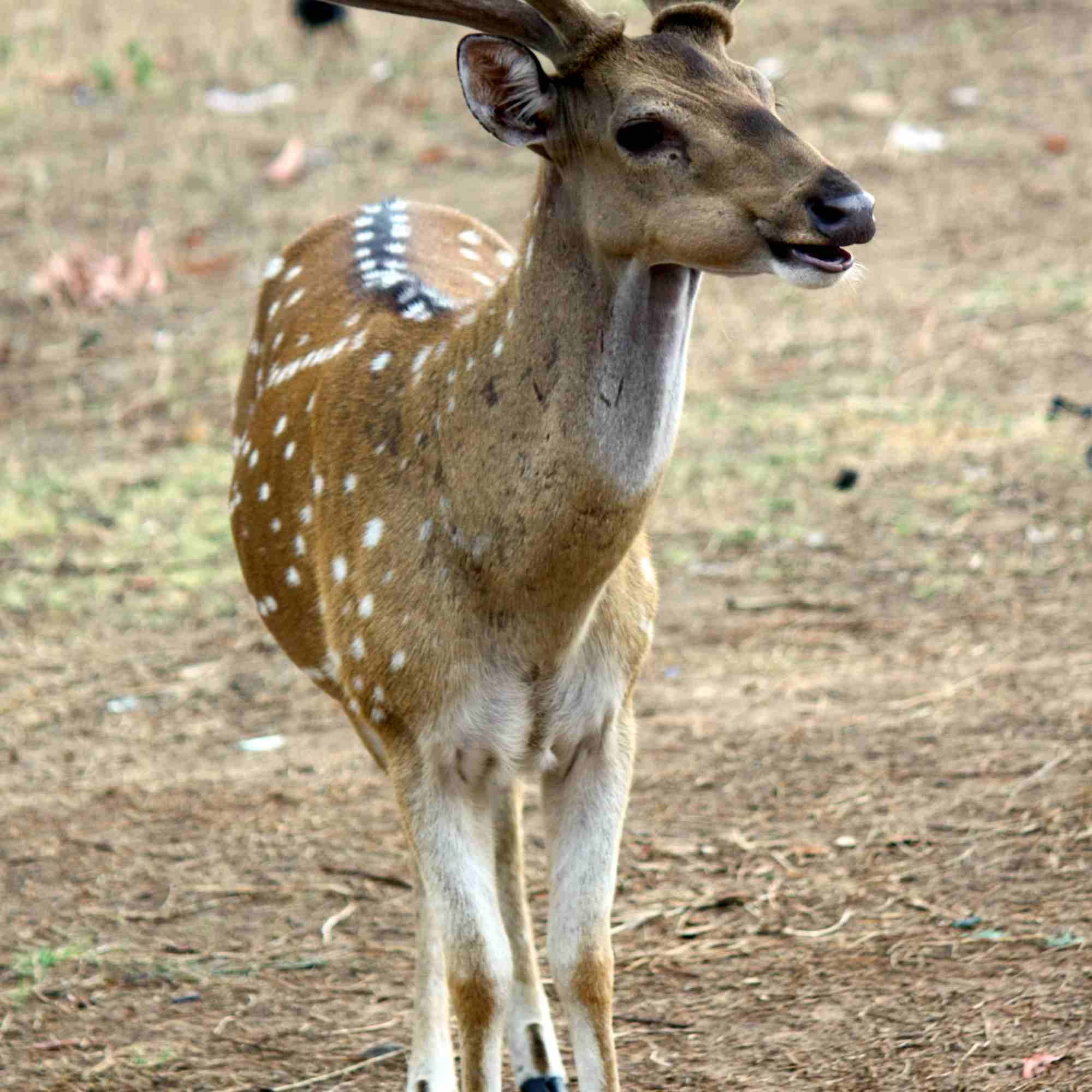 Sri_Lankan_axis_deer_-Axis_axis_ceylonensis-.JPG