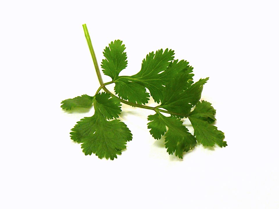 cilantro, herb, recipes, coriander, receipts